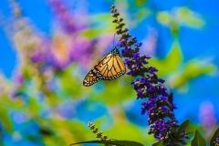 butterflyclose3